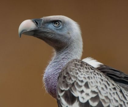 Another Baby Condor Calls Zion Park Home